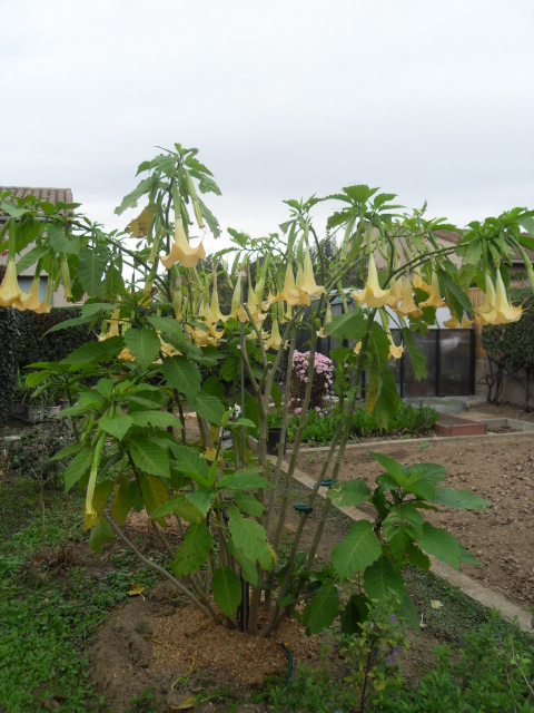 brugmansia - Page 2 Sdc10544
