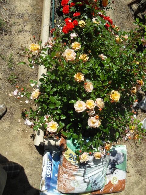 Petit album de roses - Page 4 Sdc10614