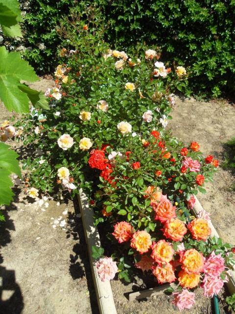 Petit album de roses - Page 4 Sdc10615