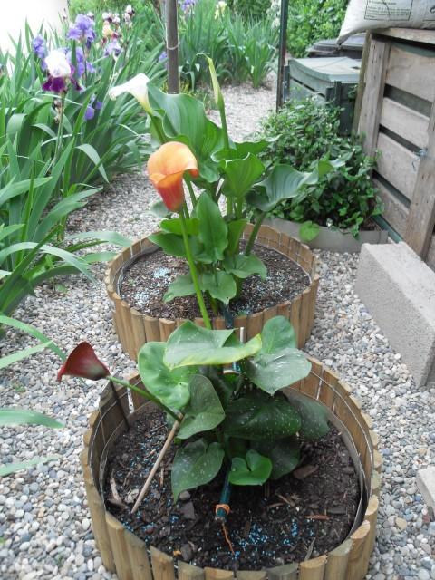 arum des fleuristes Sdc10622