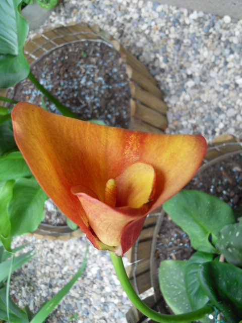 arum des fleuristes Sdc10623