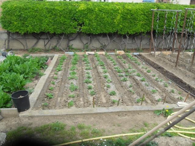 nouvelles plantations de légumes - Page 4 Sdc10624
