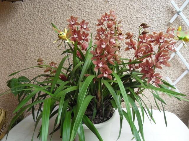 cymbidiums et phalaenopsis - Page 2 Sdc10627