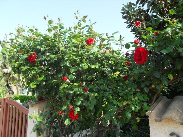 Petit album de roses - Page 4 Sdc10726