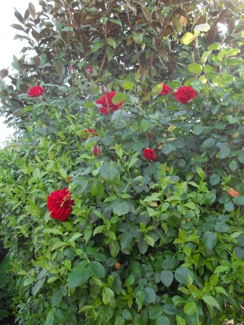 Petit album de roses - Page 4 Sdc10727