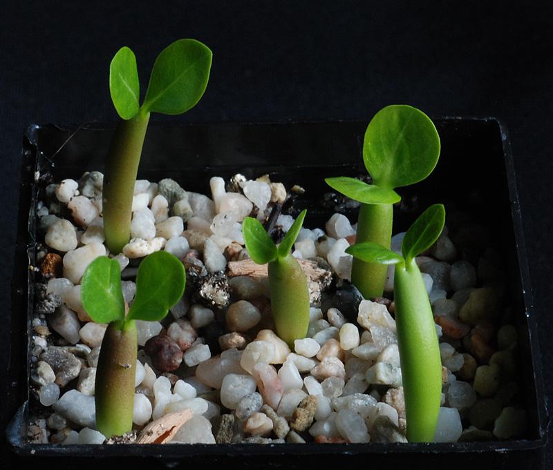 Semis de cactus du 18 février 2010 Adeniu10
