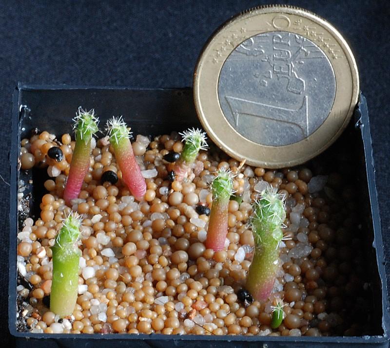 Semis de cactus du 18 février 2010 Pedioc10