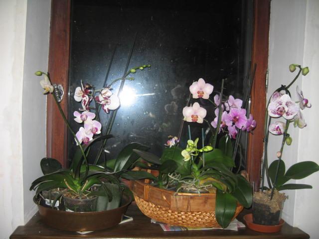 mes orchidées Img_0231