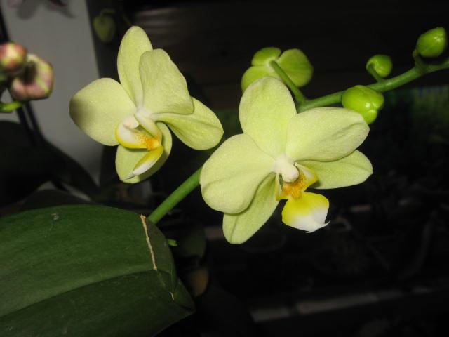 mes orchidées Img_0232