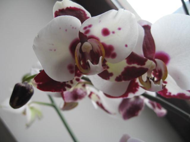 mes orchidées Img_0233