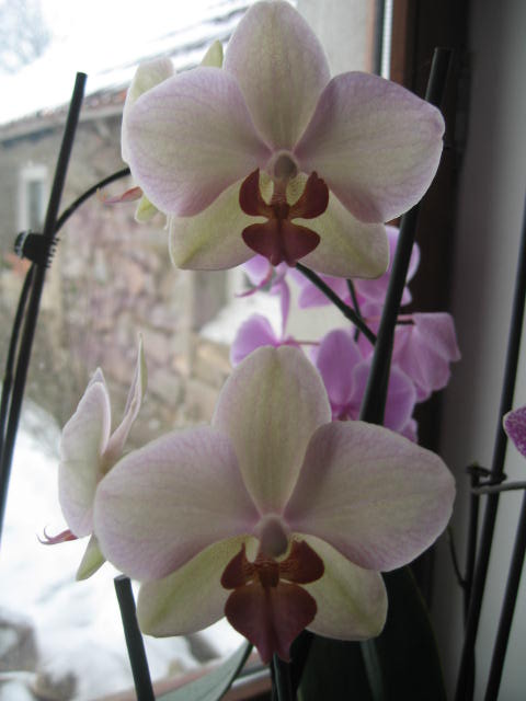 mes orchidées Img_0236