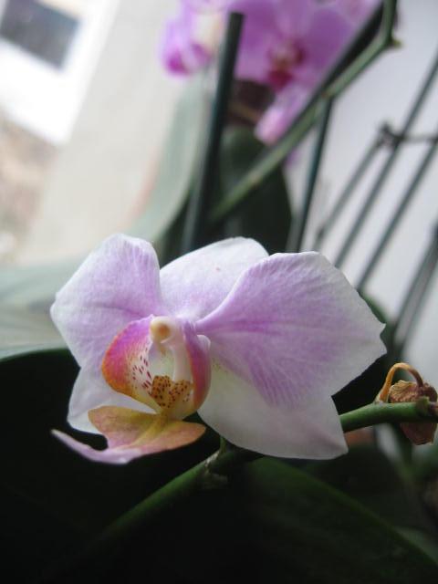 mes orchidées Img_0237