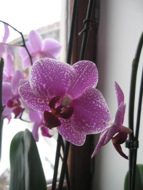 mes orchidées Img_0238