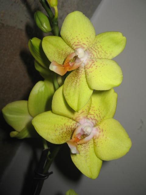 mes orchidées Img_0240