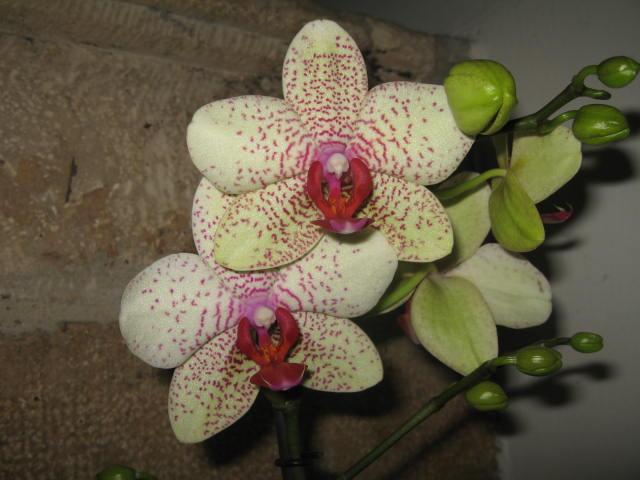 mes orchidées Img_0242