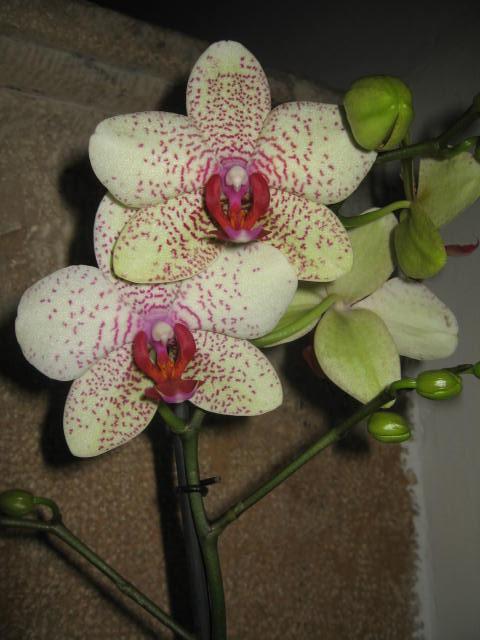 mes orchidées Img_0243
