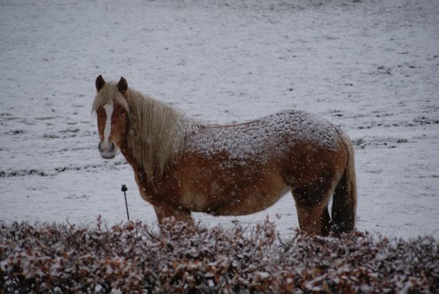 Tempète de neige: chevaux et paysage Dsc00414