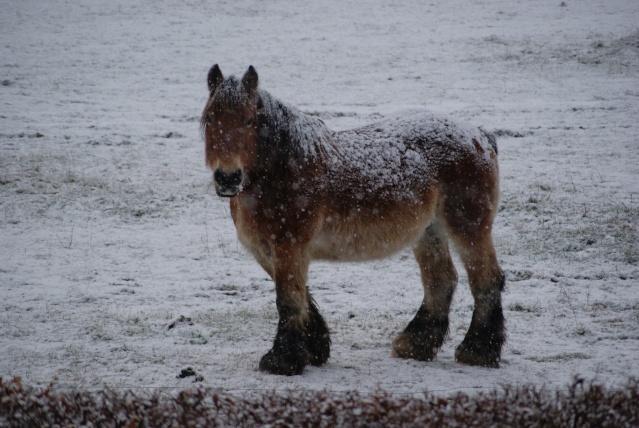 Tempète de neige: chevaux et paysage Dsc00415