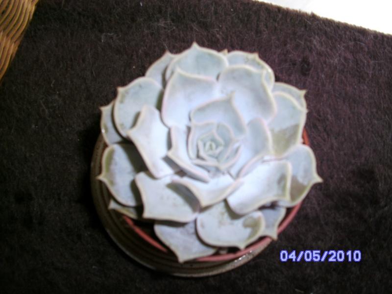 Echeveria lilacina Bild1413