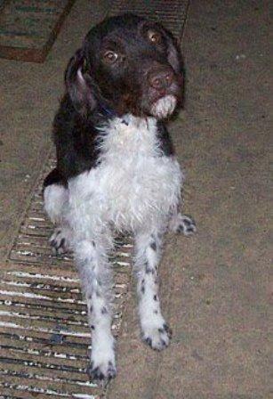API, adorable Drahthaar de 2 ans, en refuge espagnol inondé et attaqué par les autres chiens, A BESOIN D'UNE FAMILLE Api1010