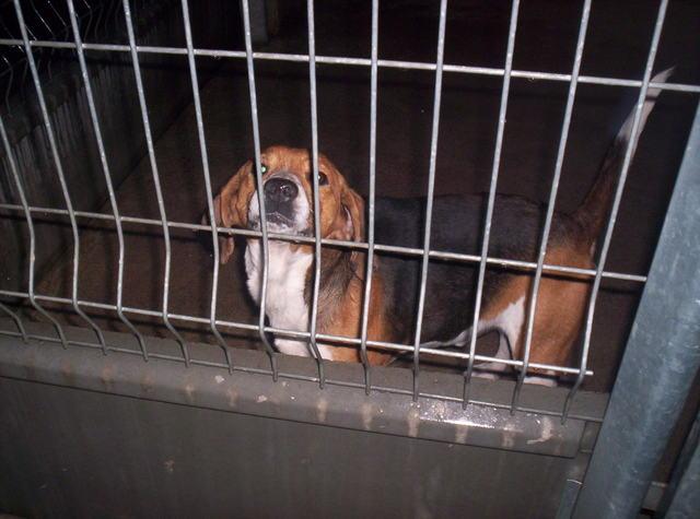 URGENT - Beagle mâle / euthanasie prévue (11) Photo014