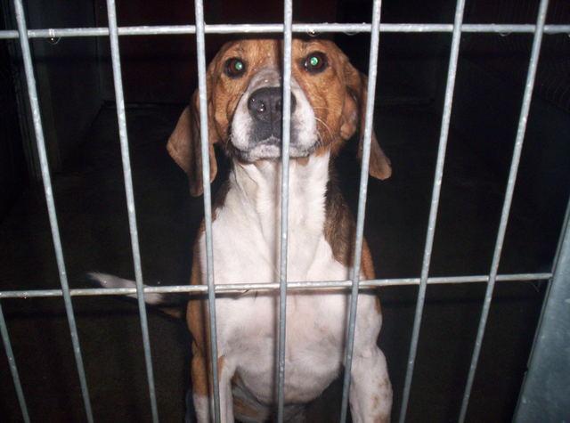 URGENT - Beagle mâle / euthanasie prévue (11) Photo015