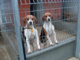URGENT - Beagle mâle / euthanasie prévue (11) Spadec10