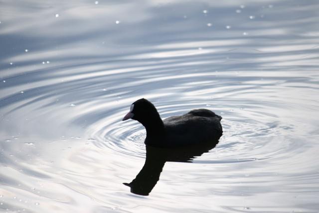 Oiseaux d'hiver 2010-2011 : Photos7100 Lac_st10