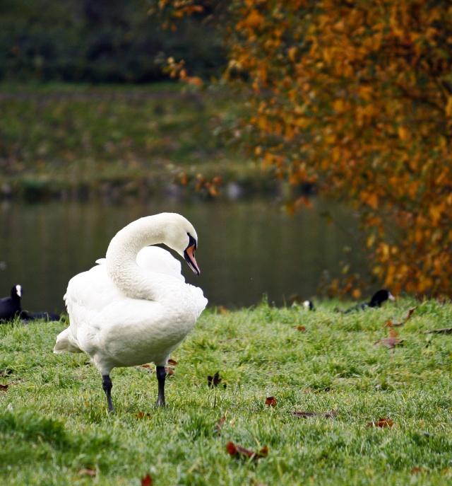 Oiseaux d'hiver 2010-2011 : Photos7100 Lac_st11