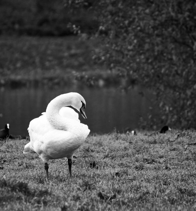 Oiseaux d'hiver 2010-2011 : Photos7100 Lac_st12