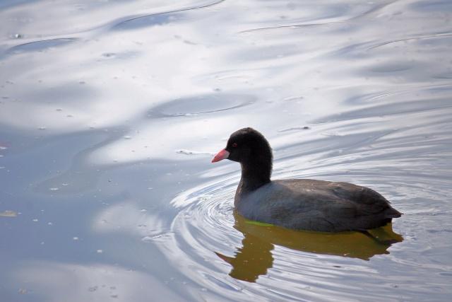 Oiseaux d'hiver 2010-2011 : Photos7100 Retouc10