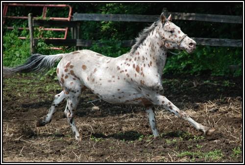 """• Mission """"création de chevaux"""". - Page 3 Appalo11"""