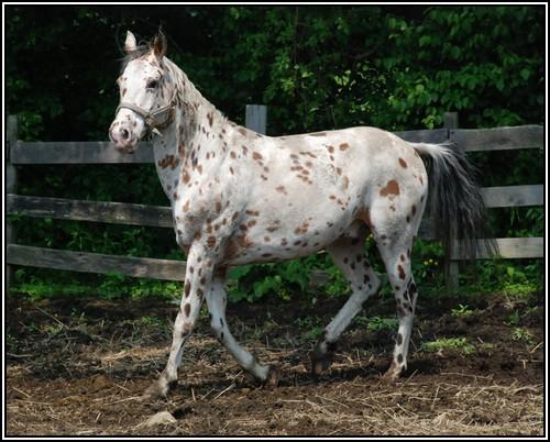 """• Mission """"création de chevaux"""". - Page 3 Appalo12"""