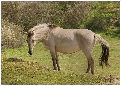 """• Mission """"création de chevaux"""". - Page 3 Konik10"""