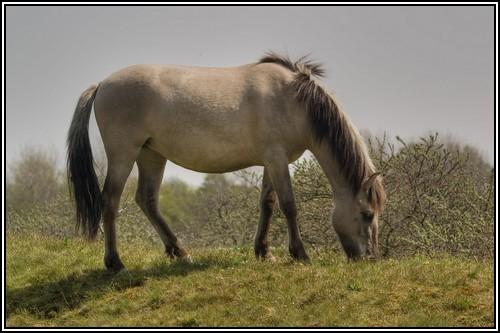 """• Mission """"création de chevaux"""". - Page 3 Konik110"""