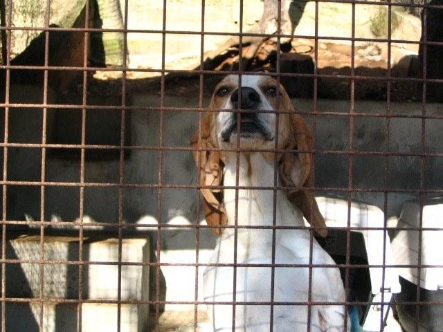 CHARLOTTE, croisée beagle/basset hound femelle, 3/4 ans (13) Charlo11