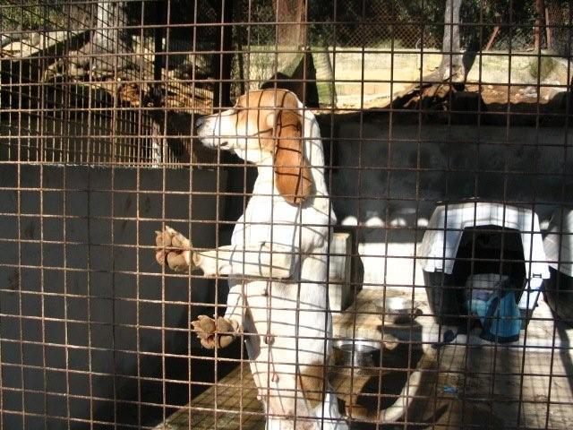 CHARLOTTE, croisée beagle/basset hound femelle, 3/4 ans (13) Charlo12