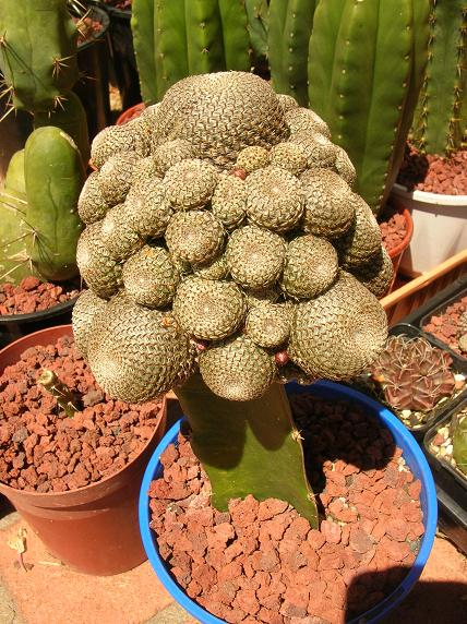 Moving house with cacti... a mini-blog - Page 2 Rebuti10