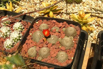 Moving house with cacti... a mini-blog - Page 2 Rebuti11
