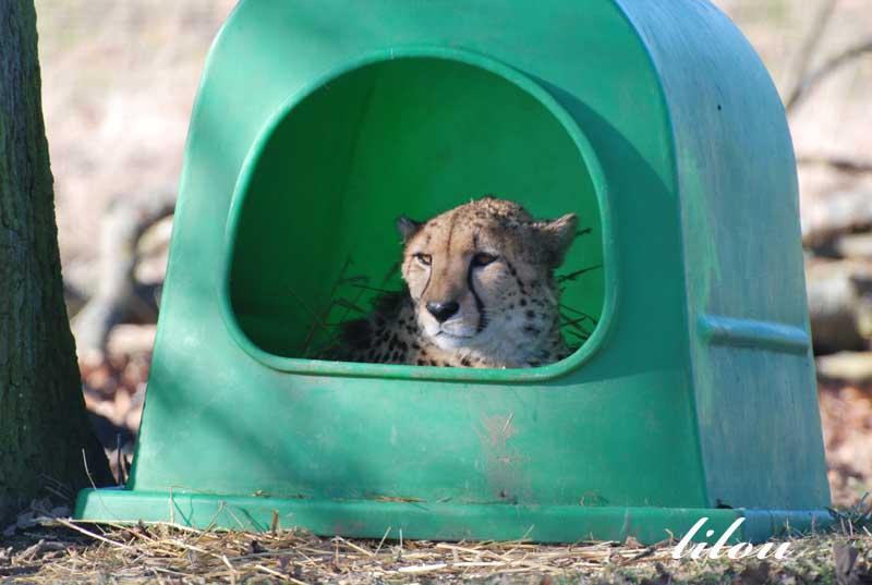 Photos 2009 du parc des félins avec Janvier - Février Photos31