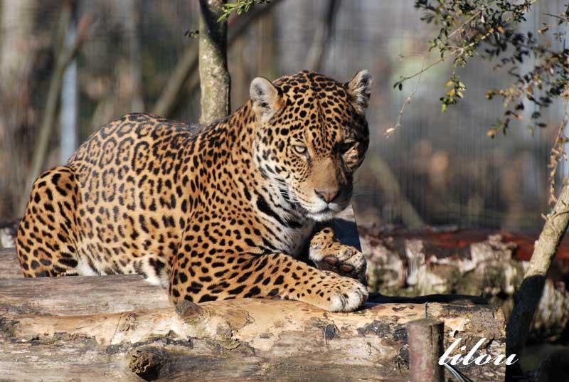 Photos 2009 du parc des félins avec Janvier - Février Photos39