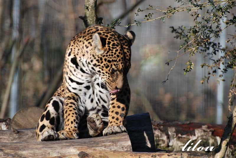 Photos 2009 du parc des félins avec Janvier - Février Photos42