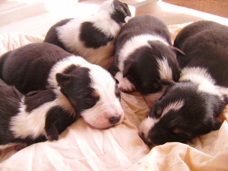 Nos petit bébé Border collie ( video de la tété page 1= new photos page 2 ) 12310