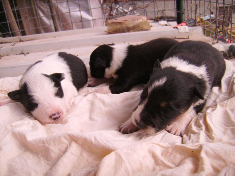Nos petit bébé Border collie ( video de la tété page 1= new photos page 2 ) 15610