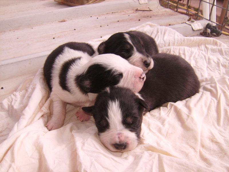Nos petit bébé Border collie ( video de la tété page 1= new photos page 2 ) 52310