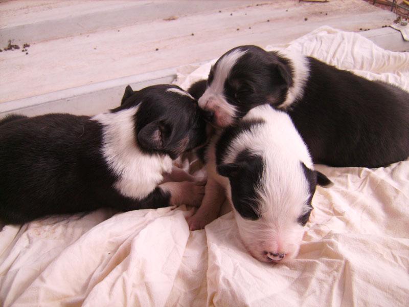 Nos petit bébé Border collie ( video de la tété page 1= new photos page 2 ) 56910