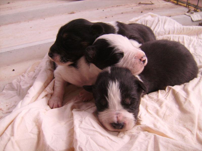 Nos petit bébé Border collie ( video de la tété page 1= new photos page 2 ) 62110