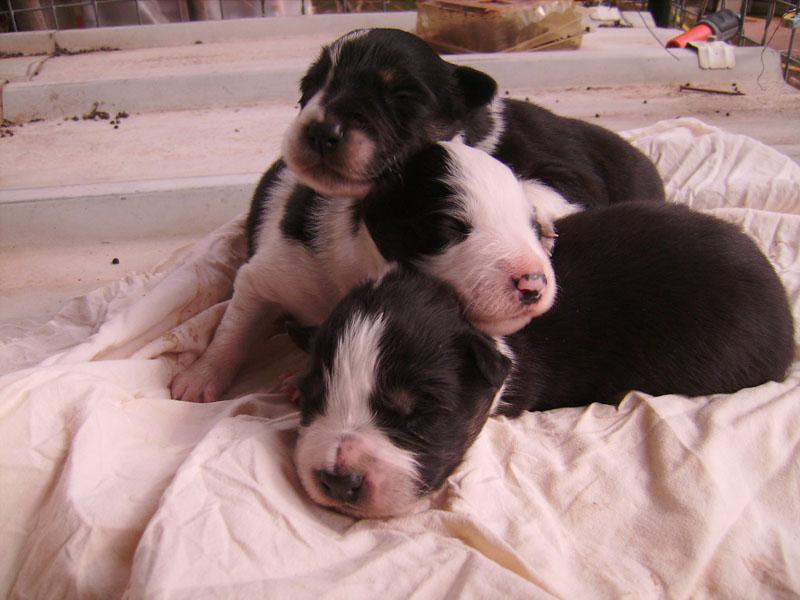 Nos petit bébé Border collie ( video de la tété page 1= new photos page 2 ) 75110
