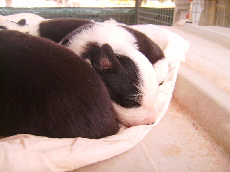 Nos petit bébé Border collie ( video de la tété page 1= new photos page 2 ) 75632110