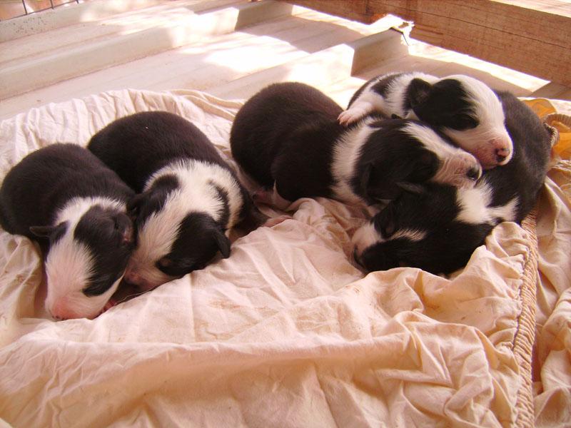 Nos petit bébé Border collie ( video de la tété page 1= new photos page 2 ) 756910